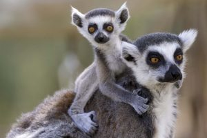 Cullifords-madagascan-lemurs-300×200